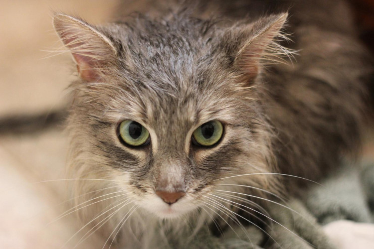 cat, cat washing, cat bath, long hair
