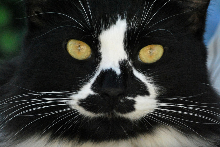 How tuxedo cat's get their markings