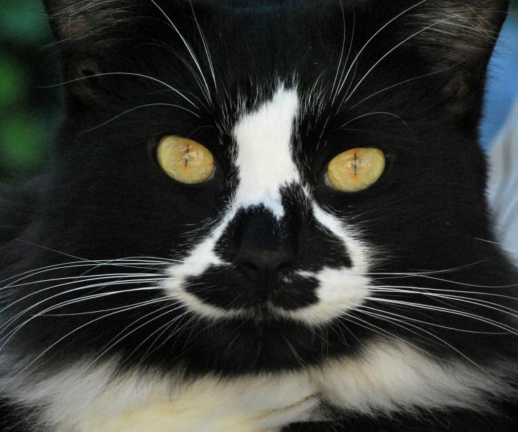 Science Explains Your Tuxedo Cat's Suit Pattern