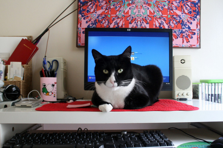 cat distracts you while you're working from home