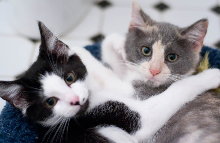Kitten fostering, foster parent