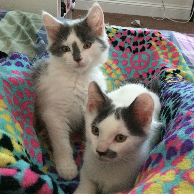 posey and zeus - fostered by kitten foster parent