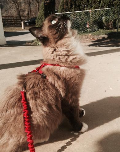 harness training cat