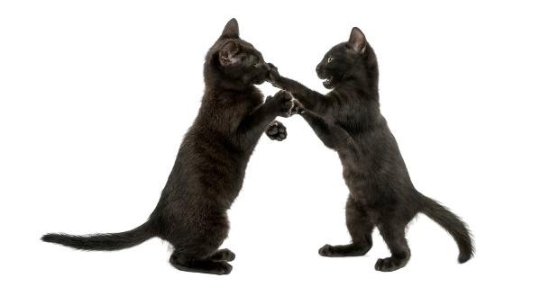 Play aggression kittens