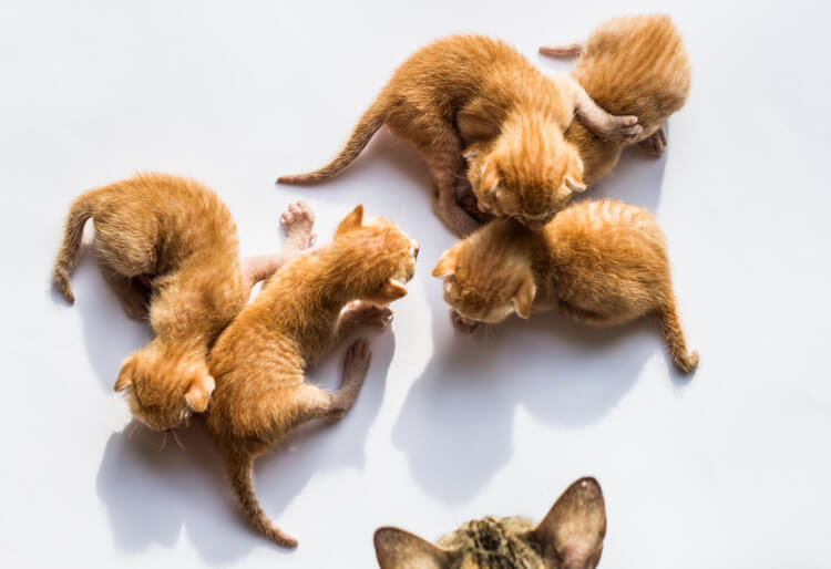Cat Mating 101: Where Do Kittens Come From?