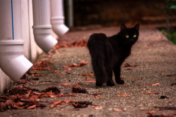 Black Cat Myths