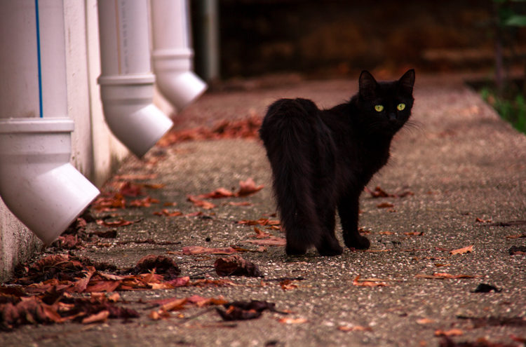 Why Black Cat Myths Are So Bogus