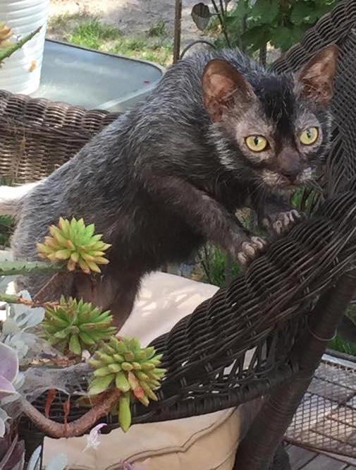 Halloween cat lykoi