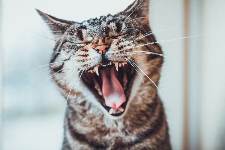 Why You Should Brush Your Cat's Teeth