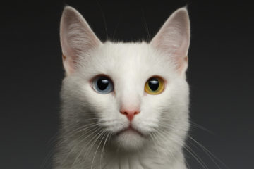 Closeup White cat with  heterochromia eyes on gray background