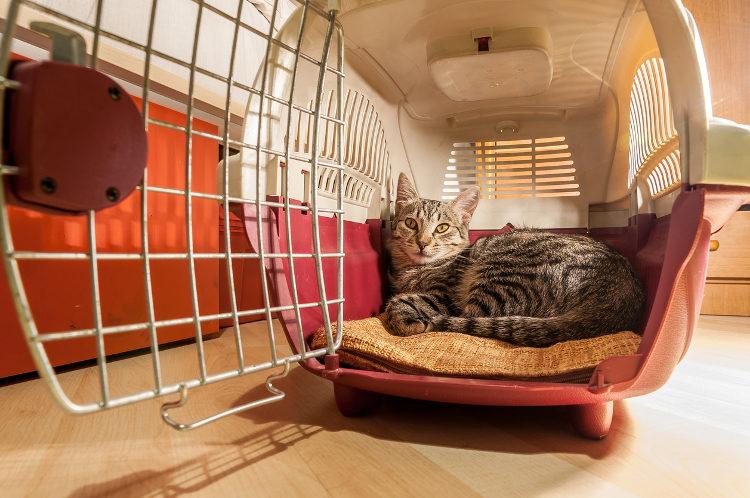 Cat Adoption Options: Stray Or Pedigree?