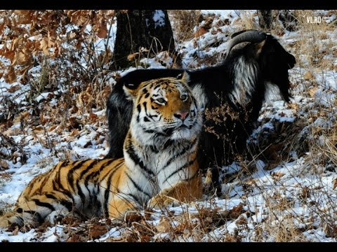 Amur tiger and goat