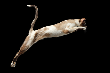 Defying Gravity: How Cats Almost Always Land Gracefully