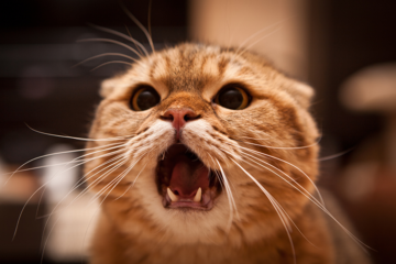 Stressed-Out Kitty? Whisker Fatigue Could Be The Issue