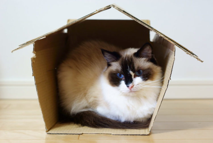 Thinking Outside The Box: Why Do Cats Love Boxes So Much?