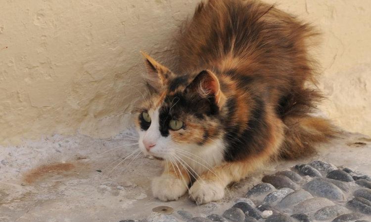 A long haired cat laying down