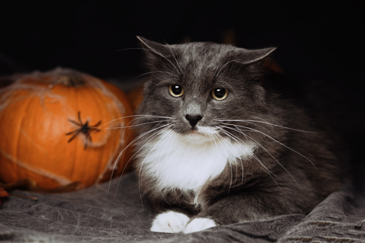 Cat sitting next to pumpkin covered in fake cobwebs