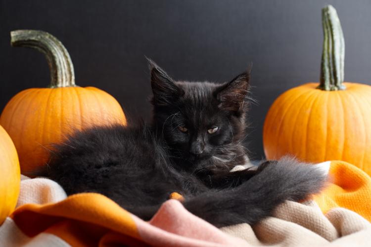 Cat sitting between two pumpkins
