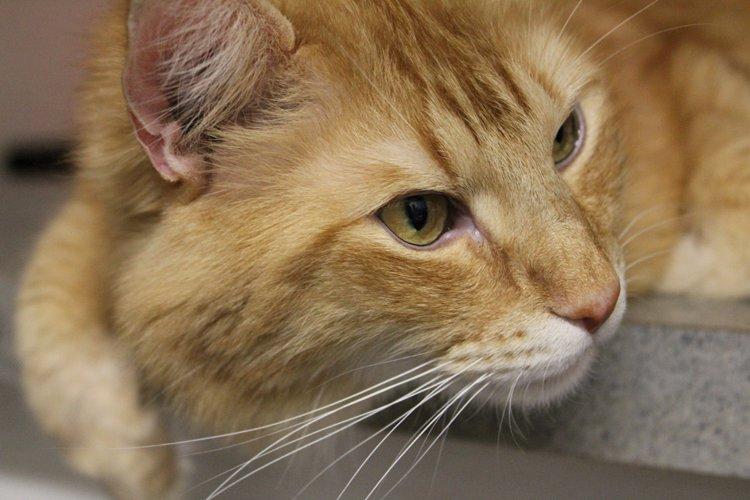 Image of Tiger Jack, an orange cat