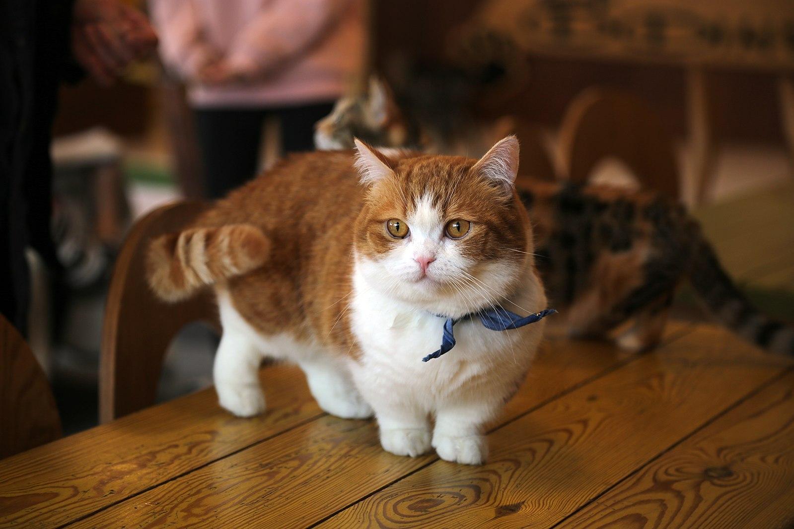 Munchkin Cats Adorable Or Controversial Catgazette