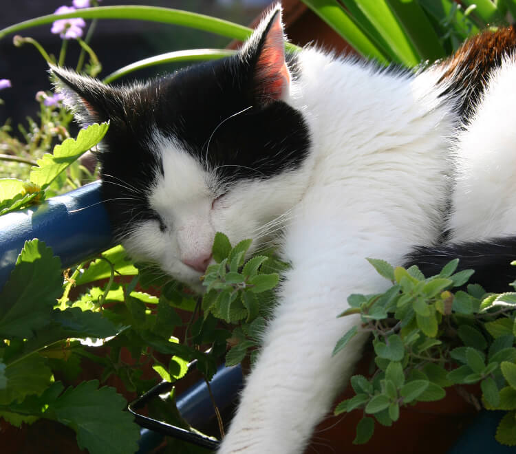 Catnip And Your Cats: Everything You Need To Know